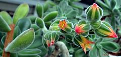 La sonrisa de la naturaleza (Caty V. mazarias antoranz) Tags: flowers espaa naturaleza flores primavera nature spain jueves happyday echeveriapulvinata felizda mygearandme blinkagain