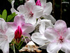 A  Rhododendron taken at Gosford north of Sydney (pat.bluey) Tags: flowers australia rhododendron newsouthwales 1001nights gosford pinkwhite 1001nightsmagiccity hennysgardens