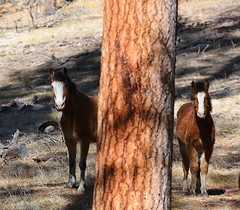 Ochoco Mustangs (calljohn3) Tags: wild horses nature sex wildlife mustangs