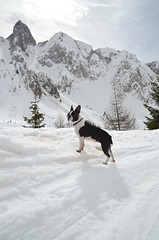 13-DSC_6149 (Marco_bg) Tags: winter bw dog white snow black boston bostonterrier agility penny and bergamo pennylane 2014 ciaspole ciaspolata campelli schilpario