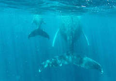 Mother and baby humpback (Sallyrango) Tags: underwater dominicanrepublic snorkelling humpback humpbackwhales whaletails silverbank swimmingwithwhales gopro twotails babywhales whalesunderwater motherandbabywhale