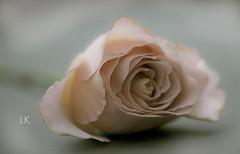 Roses (lollipoplollipop@home) Tags:
