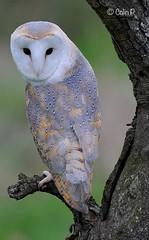 Barn Owl (Tyto alba) (Col-Page) Tags: