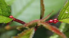 little red things (danna  curious tangles) Tags: ant nectary extrafloral