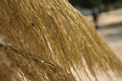 bamboograss as roof material (enstamp) Tags: wild brown plant flower tree grass golden bamboo bloom wildflower bambootree landcover brownflower bloomtree