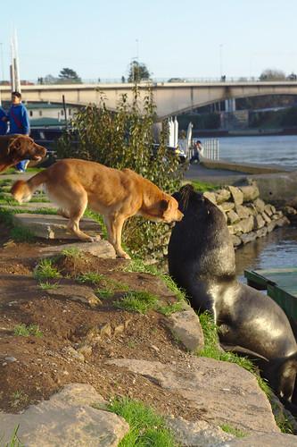 Perro vs Lobo marino
