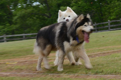 """Chase Is Trying To Get Zarro To Play With Him • <a style=""""font-size:0.8em;"""" href=""""http://www.flickr.com/photos/96196263@N07/14282420023/"""" target=""""_blank"""">View on Flickr</a>"""
