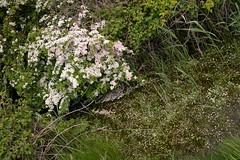 mayflowers by the stream (debs-eye) Tags: stream hawthorn cuckmere mayflowers