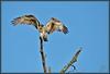Dancing machine (WanaM3) Tags: sky tree bird nature wings nikon branch texas wildlife ngc feathers bayou raptor pasadena canoeing paddling osprey clearlakecity d7100 avianexcellence horsepenbayou wanam3 nikond7100