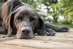 Henley the Black Lab (mettlingd) Tags: summer dog pet minnesota puppy relax cabin nap tired blacklab labradorretriever germanshorthairpointer 2015 sleepydoy