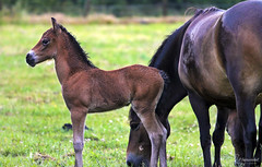 Exmoor Foal (Paula Darwinkel) Tags: exmoor pony foal horse nature animal cattle wildlife