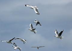 Silver Gulls (iansand) Tags: dy deewhy gull silvergull seagull