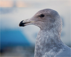 seagull gull eye closeup beak