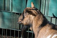 Träumer (grasso.gino) Tags: tiere animals natur nature tierpark recklinghausen nikon d5200 ziege goat träumen dreaming