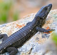 Black Girdled Lizard (Cordylus niger) (berniedup) Tags: buffelsbay capeofgoodhope capepeninsula blackgirdledlizard cordylusniger girdledlizard taxonomy:binomial=cordylusniger lizard cordylidae