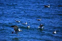 (albertmzr) Tags: landing seagull flying floating birds sea water