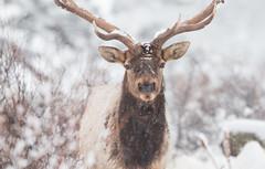 Elk's portrait (Eric Penet) Tags: wapiti deer cervidé elk rocky rockymoutain rocheuses mountain montagne wildlife wild étatsunis unitedstates usa hiver février mammifère neige snow winter bull