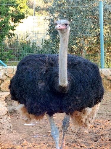 Paphos Zoo - ostrich (6)