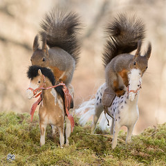 the game of horses (Geert Weggen) Tags: red nature animal squirrel rodent mammal cute look closeup stand funny bright sun backlight eyes hypnosis staring watching food dinner hold hide glimpse peek top up step join surprise hang balance tree branch training exercise stretch moss horse drive sport jump walk rise free ride fast sprint race trip two double together win geert weggen bispgården ragunda sweden hardeko