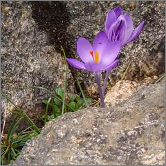 Frühling auf Sardinien / Spring in Sardinia (ludwigrudolf232) Tags: frühling sardinien krokus