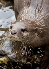 Otter (paulgmccabe) Tags: london nature animal mammal wildlife reserve otter wetlands otters barnes protected londonwetlandcentre wetlandcentre