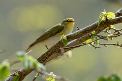 Wood Warbler. (stonefaction) Tags: wood nature birds scotland wildlife perthshire warbler faved killiecrankie