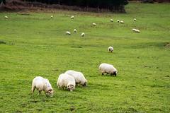 flock of sheep grazing (Mikel Martnez de Osaba) Tags: white green wool nature ecology field grass animal rural outdoors countryside spring sheep natural feeding eating shepherd farm farming flock group meadow farmland eat domestic pasture lamb agriculture livestock herd grazing graze woolly ewe