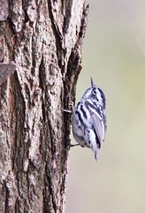 Black & White Warbler_Q4G6877 (BKP2010) Tags: white black bird nature birds wisconsin creek photography spring branch pheasant warbler middleton warblers thewonderfulworldofbirds