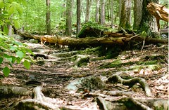 (Zairell) Tags: trees film forest 35mm log minolta connecticut roots fallen fujifilm