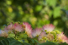 Mimosa horizon (BullockStudios) Tags: pink red white flower tree green fan texas katy south feather bloom fiber mimosa