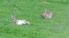 Rabbits enjoying the afternoon sun. (~Misty~) Tags: bunnies rabbits happybunny oryctolaguscuniculus felixcuniculus