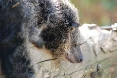 Binturong in der Espace zoologique de Saint-Martin-la-Plaine (Ulli J.) Tags: france zoo frankreich loire bearcat binturong rhnealpes marderbr saintmartinlaplaine espacezoologiquedesaintmartinlaplaine
