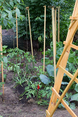 Shelley Bain-455.jpg (Shelley Bain) Tags: flowers flower garden tomato pepper herbs cucumber vegetable heirloomtomato shelleybain gardeningtrellis