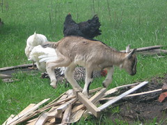 goat and chickens (henna lion) Tags: baby chickens diy spring community joan goat homestead sustainable primitive intentionalcommunity intentional shagbark doeling 2013 kovatch joankovatch