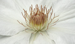 White clematis (jdcw2010) Tags: clematis whiteclematis anthersandfilaments