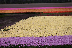 How Colorful do you want it (LeChienNoir) Tags: pink flowers netherlands yellow landscape purple nederland noordoostpolder geel bloemen landschap roze paars
