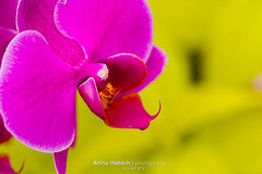 Orchids (Arina Habich) Tags: pink plant orchid flower macro nature floral closeup colorful bright blossom symmetry phalaenopsis stamens petal orchidaceae bloom herb scent perennial blooming orchis carpels labellum resupinate orchidfamily zygomorphism formosaroseorchid