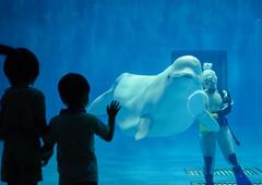 Bubble Ring  (Masashi bon) Tags: japan aquarium  shimane beluga       03