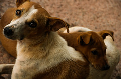 (Shubhojit Ghose) Tags: street dog india dogs yellow eyes emotion bangalore stare 365 lalbagh tellow project365