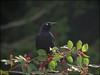 Brewers Blackbird (pjmaudsley) Tags: me2youphotographylevel2 me2youphotographylevel3 me2youphotographylevel1 freedomtosoarlevel1birdsonly