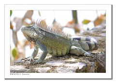 Iguana Curacao 2013 (wk4ever) Tags: animal wildlife leguaan iguana curacao mygearandme mygearandmepremium