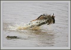The one that got away! (Rainbirder) Tags: kenya maasaimara bluewildebeest connochaetestaurinus maramigration rainbirder
