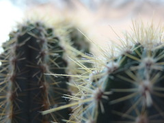 2013-08-30, Great Barr, Cacti (PandaGelnor) Tags: cactus plant detail nature cacti close sharp spines