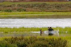 Yellowstone Wildlife (bhophotos) Tags: bear travel usa nature geotagged nikon wildlife yellowstonenationalpark yellowstone swanlake wyoming elk grizzly calf ynp d300 200400mmf4gvr swanlakeflats