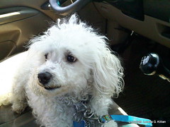 050513  Benjy loves to sit in Daddy's big truck (Peachhead (5,000,000 views!)) Tags: family dog chien pet white cute cane hond perro hund poodle spoiled benjy furbaby caniche miniaturepoodle