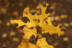 Seasons and Swaps (obsequies) Tags: autumn orange canada fall nature leaves yellow october pieces bokeh harvest september manitoba puzzle