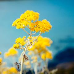 Belle-Île (miemo) Tags: travel summer france flower nature closeup brittany rocks europe bokeh bretagne olympus shore omd em5 belleîle pointedespoulains panasonic1235mmf28