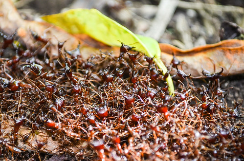 African ants