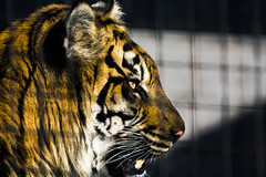 Sumatran Tiger 10 (cypher40k Photography) Tags: toronto color colour cat zoo nikon tiger cage bigcat sumatrantiger sumatran torontozoo