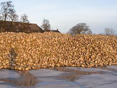 Suikerbieten (Jeroen Hillenga) Tags: netherlands groningen boerderij bieten bietencampagne hogeland suikerbieten